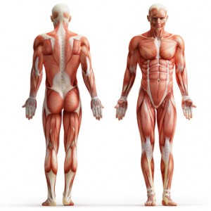 muscle is built of amino acids