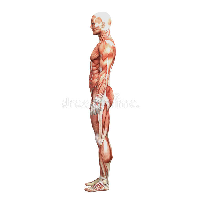 Athletic male human anatomy and muscles royalty free illustration