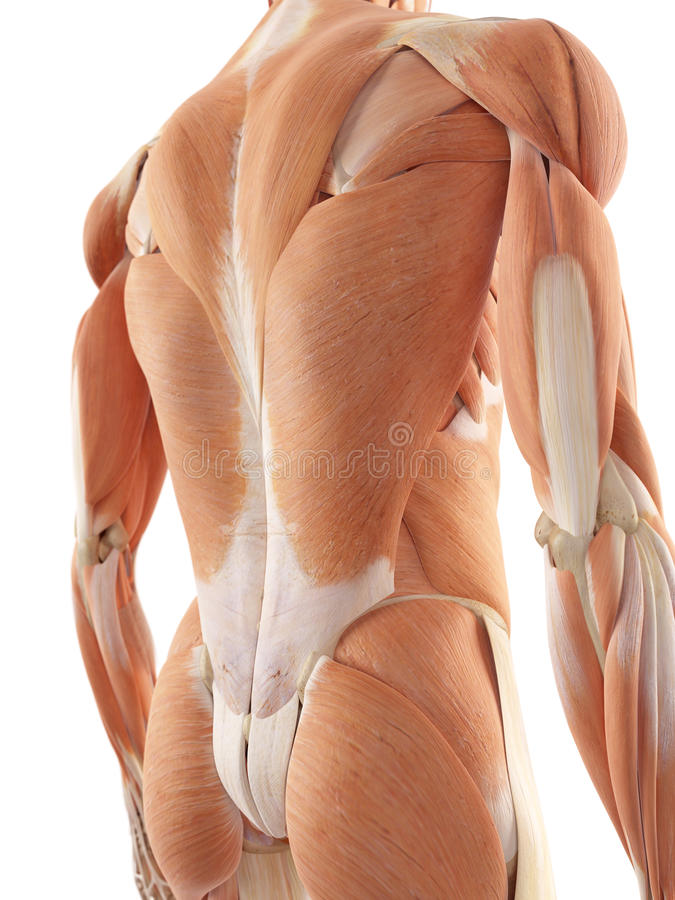 The back muscles. Medical accurate illustration of the back muscles royalty free illustration