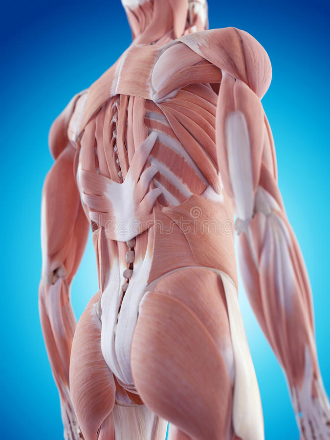 The back muscles. Medically accurate illustration of the back muscles vector illustration