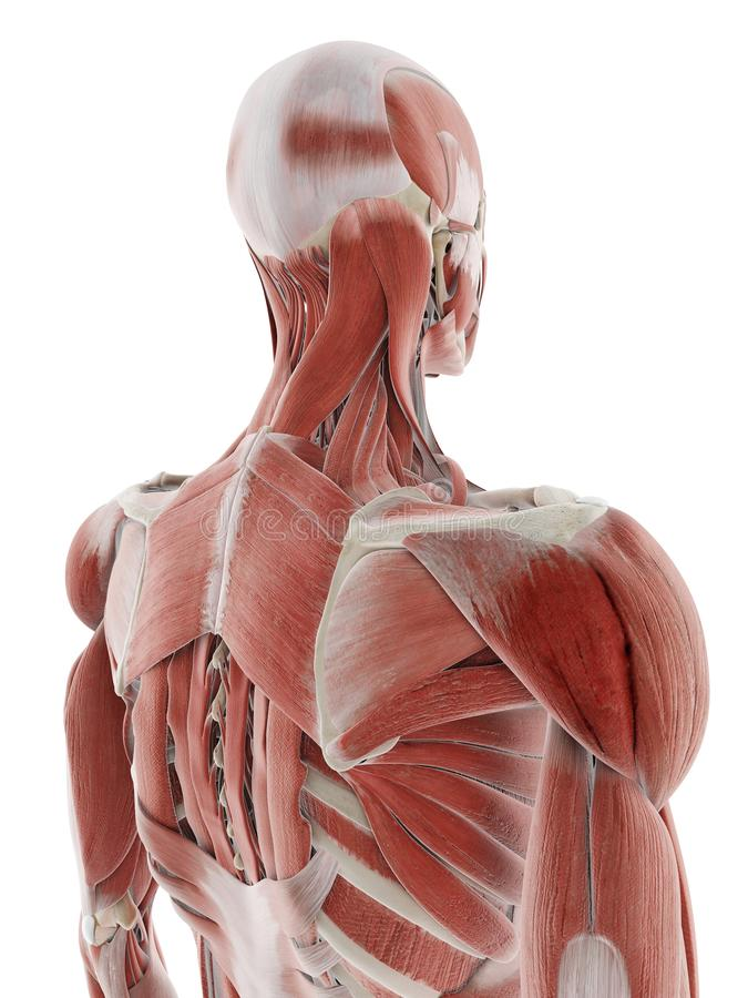 The deep back muscles. 3d rendered medically accurate illustration of the deep back muscles stock illustration