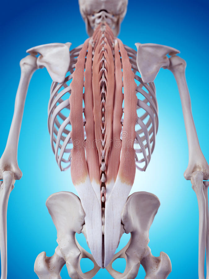 The deep back muscles. Medically accurate illustration of the deep back muscles stock illustration