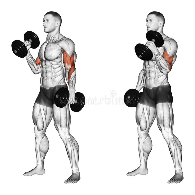 Exercising. Curl with a dumbbell grip hammer vector illustration