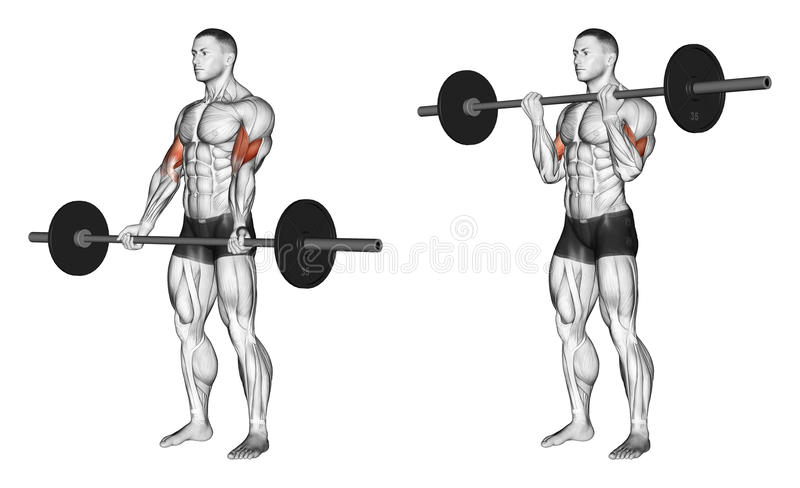 Exercising. Curls with a barbell undergrip royalty free illustration