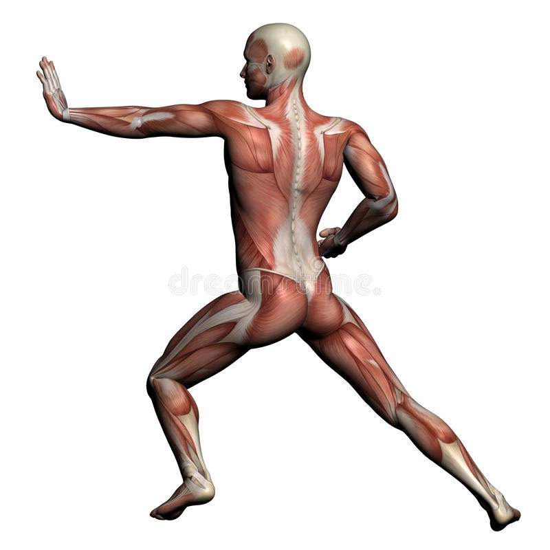Human Anatomy - Male Muscles stock illustration
