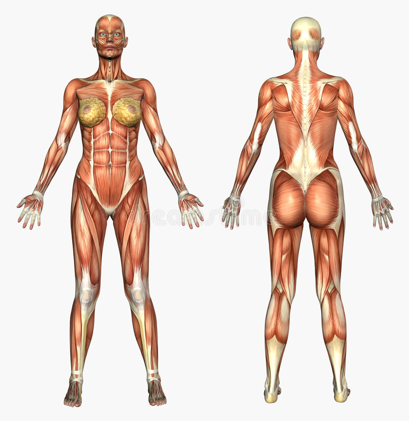 Human Anatomy - Muscle System - Female stock illustration