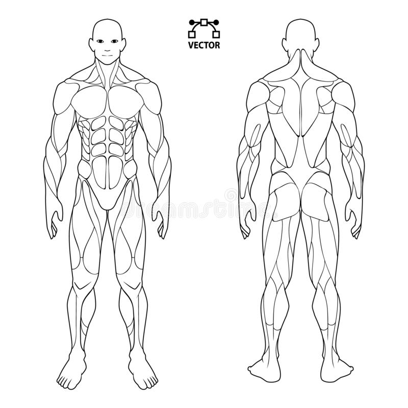 Human body anatomy male man , front and back muscular system of muscles . flat medical scheme poster of training healthcare gym , vector illustration
