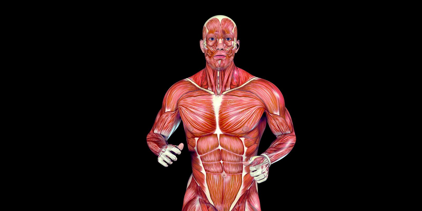 Human Male Body Anatomy Illustration of a human torso with visible muscles vector illustration