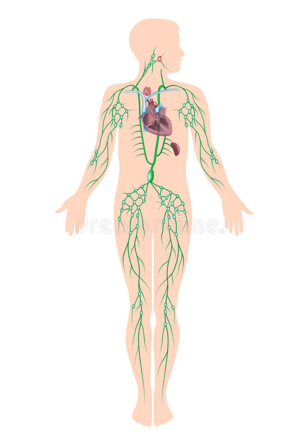 The lymphatic system royalty free illustration