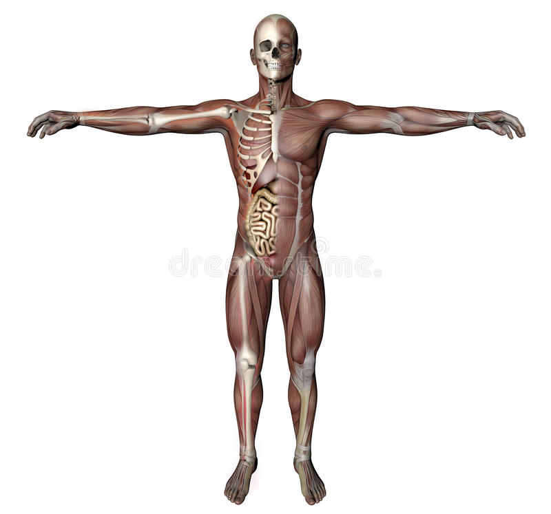 Male body with skeletal muscles and organs royalty free illustration