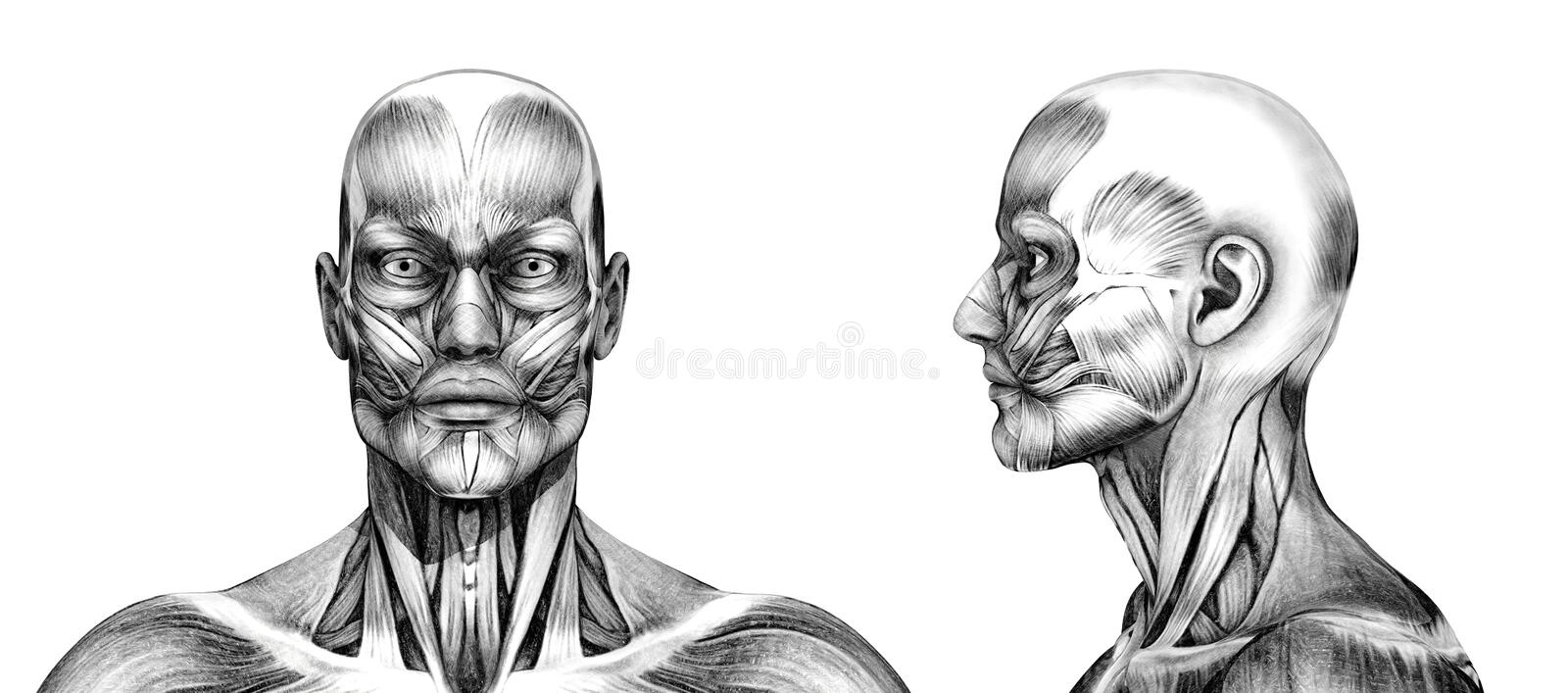 Muscles of the Head - Pencil Drawing Style stock illustration
