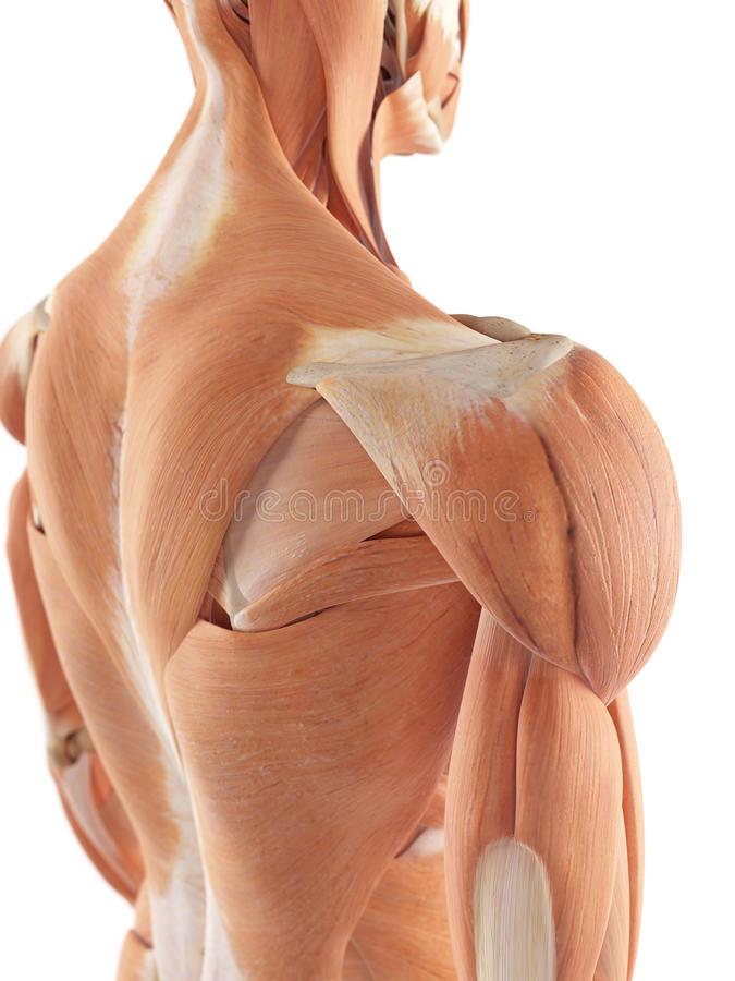 The shoulder muscles. Medical accurate illustration of the shoulder muscles vector illustration