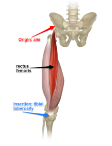 The Rectus Femoris Muscle Attachments
